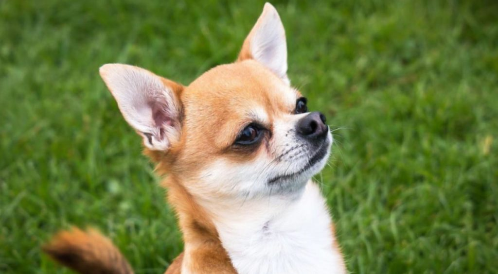 mejores razas perro para departamentos chihuahua